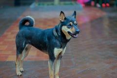 Cães dispersos na rua Imagem de Stock Royalty Free