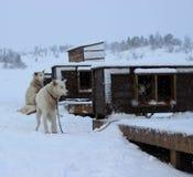 Cães do Alasca de Husky Sled Fotografia de Stock
