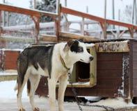 Cães do Alasca de Husky Sled Imagens de Stock