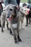 Cães do cão caçador de lobos irlandês na celebração do dia do ` s de St Patrick em Moscou Foto de Stock Royalty Free