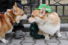 Cães do Corgi na celebração do dia do ` s de St Patrick em Moscou Foto de Stock Royalty Free