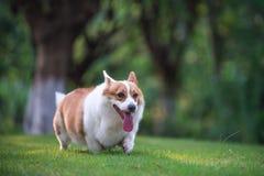 Cães do Corgi que jogam no parque imagens de stock royalty free