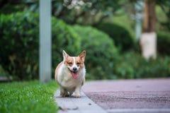 Cães do Corgi que jogam no parque foto de stock