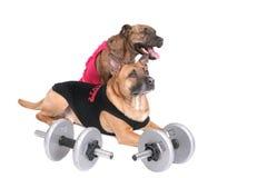 Cães do exercício Imagens de Stock