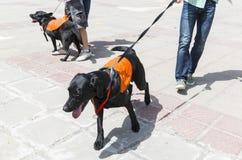 Cães do guia e do auxílio fotos de stock royalty free