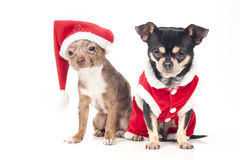 Cães do Natal Foto de Stock Royalty Free