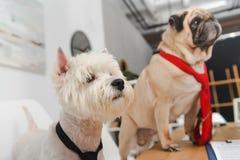 Cães do negócio nas gravatas Fotografia de Stock Royalty Free