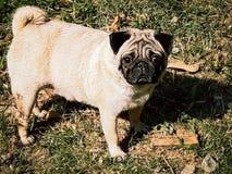 Cães do Pug Imagens de Stock Royalty Free