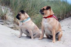 Cães do Pug sentados em uma paisagem da praia Imagens de Stock