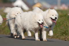 Cães do Samoyed Imagens de Stock