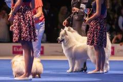 Cães do Samoyed Fotografia de Stock