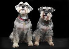 Cães do Schnauzer foto de stock