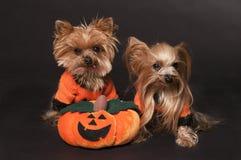 Cães do terrier de Yorkshire Fotografia de Stock