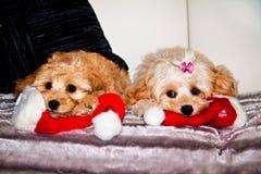 Cães do Xmas Imagens de Stock