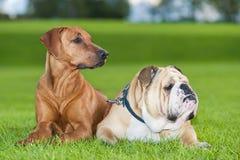 Cães dos melhores amigos Foto de Stock Royalty Free