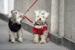 Cães dos pares imagens de stock royalty free
