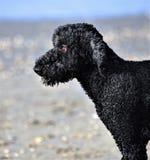 Cães e ingleses loucos foto de stock