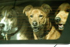 Cães em Audi Fotos de Stock Royalty Free