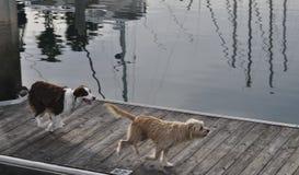 Cães em um cais Fotografia de Stock