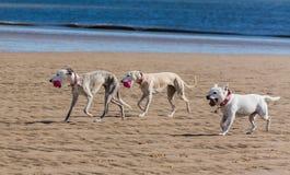 Cães em uma praia Fotos de Stock Royalty Free