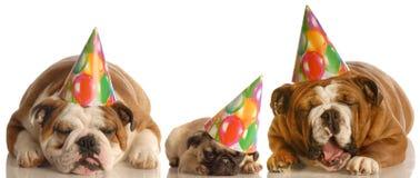 Cães engraçados do aniversário do gemido fotos de stock royalty free