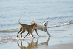 Cães engraçados na praia Fotos de Stock Royalty Free