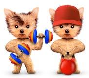 Cães engraçados que treinam com barbell e peso Fotos de Stock