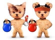 Cães engraçados que treinam com kettlebells no gym do esporte Fotografia de Stock