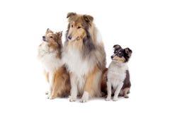 Cães escoceses do collie imagem de stock royalty free