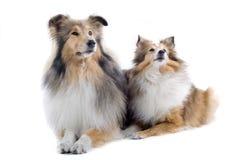 Cães escoceses do collie imagens de stock royalty free
