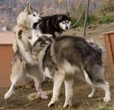 Cães Eskimo Fotografia de Stock