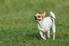 Cães felizes que têm o divertimento que corre no campo Chihuahua Imagem de Stock