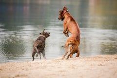 Cães fora Imagem de Stock