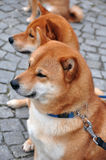 Cães gêmeos olhar fixamente Imagem de Stock