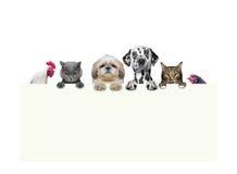 Cães, gatos, galinha e galo guardando um quadro em suas patas Fotos de Stock