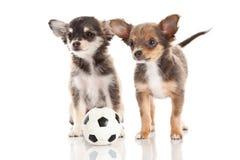 Cães isolados no futebol branco do fundo Foto de Stock Royalty Free