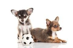 Cães isolados no futebol branco do fundo Fotografia de Stock