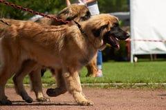 Cães marrons grandes na trela Fotografia de Stock