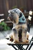 Cães misturados pequenos da raça que sentam-se na cadeira da madeira exterior imagem de stock