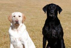 Cães molhados Fotografia de Stock