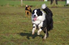 Cães na caminhada Imagens de Stock Royalty Free