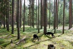 Cães na floresta foto de stock royalty free