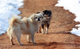 Cães na neve Fotografia de Stock Royalty Free