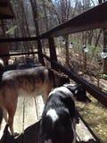 Cães na plataforma foto de stock