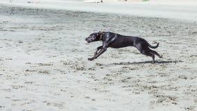 Cães na praia Fotografia de Stock