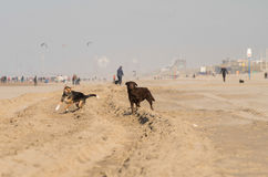 Cães na praia Imagens de Stock Royalty Free