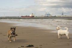 Cães na praia Foto de Stock Royalty Free