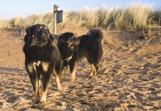 Cães na praia arenosa fotografia de stock royalty free