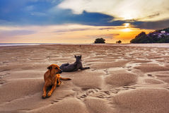 Cães na praia no por do sol Fotografia de Stock