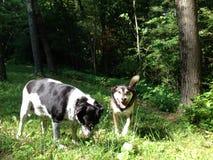 Cães no campo imagens de stock